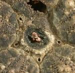 Diadema setosum (apical system)