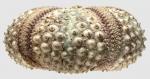Echinothrix calamaris (lateral)