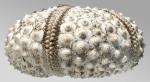 Echinothrix diadema (lateral)