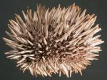 Echinometra oblonga (lateral)