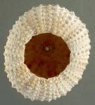 Echinometra mathaei (oral)
