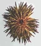 Echinometra mathaei (aboral)