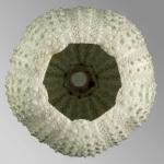 Echinostrephus molaris (oral)