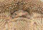 Brissus latecarinatus (peristome)