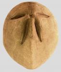 Brissus latecarinatus (aboral)