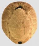 Brissus latecarinatus (oral)
