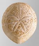 Spatagobrissus mirabilis (aboral)