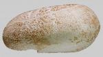 Spatagobrissus mirabilis (lateral)