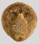 Spatagobrissus mirabilis (oral)