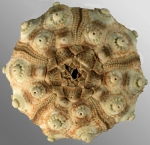 Acanthocidaris maculicollis (aboral)