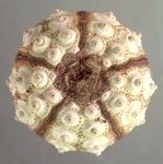Prionocidaris baculosa (aboral)