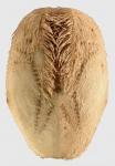 Lovenia subcarinata (aboral)