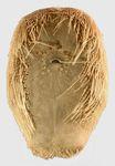 Lovenia subcarinata (oral)