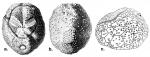 Palaeostoma mirabile (test)