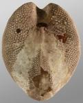 Gymnopatagus magnus (oral)