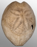 Gymnopatagus magnus (aboral)