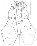 Gymnopatagus magnus (labrum)