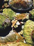 Parechinus angulosus (in situ)