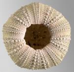 Parechinus angulosus (oral)