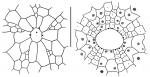 Tropholampas loveni (apical system + peristomial area)