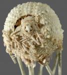 Salenocidaris profundi (oral)