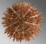 Lytechinus anamesus (aboral)