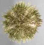 Lytechinus variegatus (aboral)