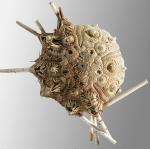 Histocidaris variabilis (aboral)