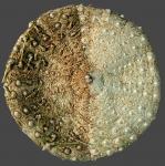 Araeosoma thetidis (oral)