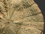 Araeosoma thetidis (aboral, close-up)
