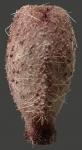 Pourtalesia laguncula (aboral)