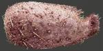 Pourtalesia laguncula (oral)