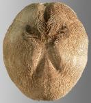 Brissopsis oldhami (aboral)
