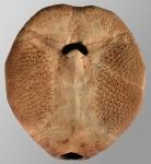 Paramaretia peloria (oral)
