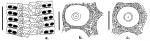 Cidaris (ambulacral + interambulacral plates)