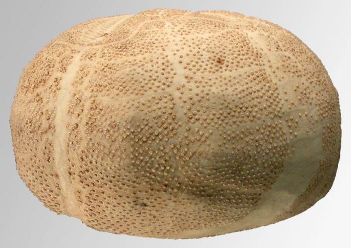 Brissopsis alta (lateral)