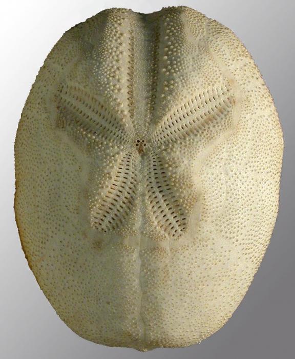 Brissopsis elongata (aboral)