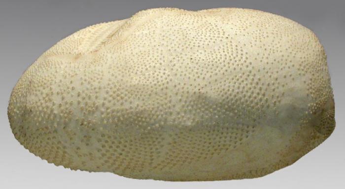 Brissopsis elongata (lateral)