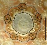 Caenopedina mirabilis (apical disc)