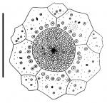 Caenopedina mirabilis (female, apical system)