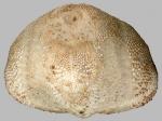 Brissalius vannoordenburgi (posterior)