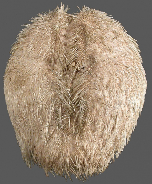 Brissalius vannoordenburgi (aboral)