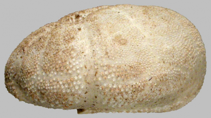 Brissalius vannoordenburgi (lateral)