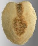 Aceste ovata (aboral)