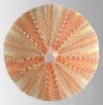 Allocentrotus fragilis (aboral)