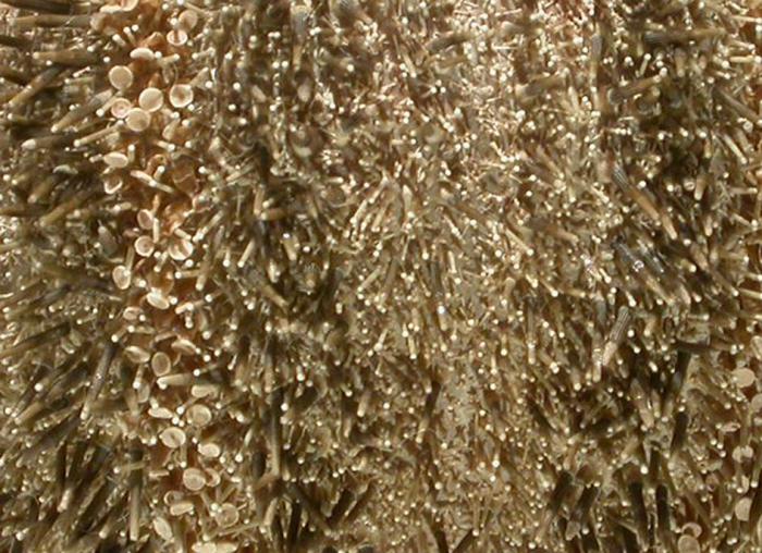 Amblypneustes leucoglobus (spines)