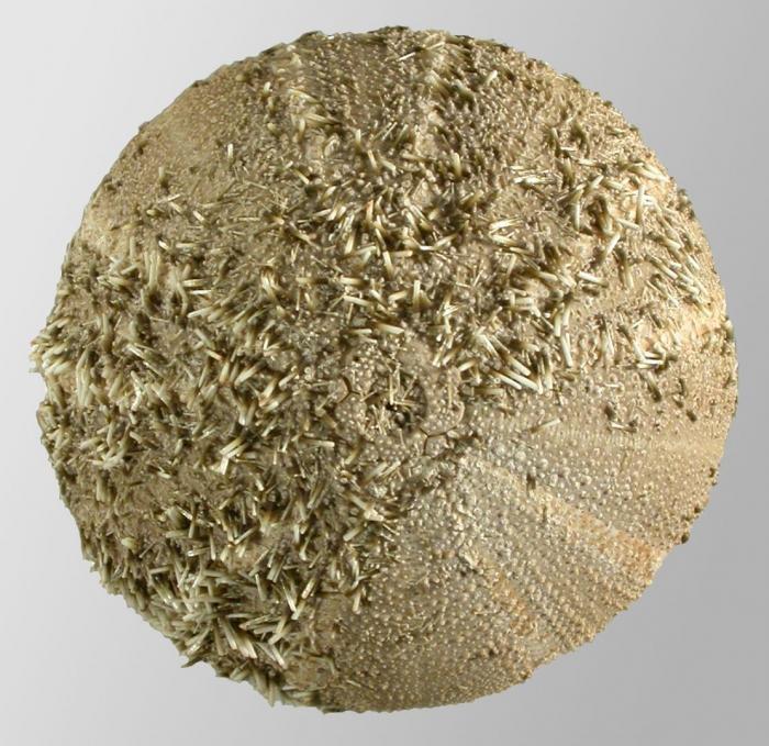 Amblypneustes pachistus (aboral)