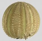 Amblypneustes pachistus (lateral)