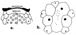 Anabrissus damesi (labrum + apical system)