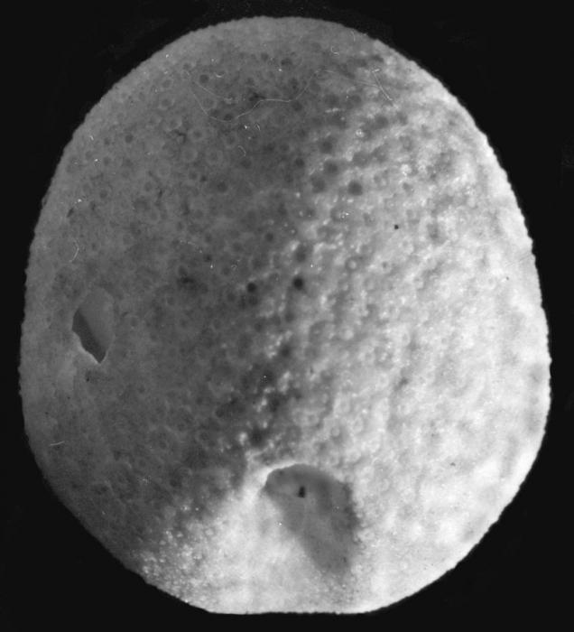 Aphanopora echinobrissoides (aboral)